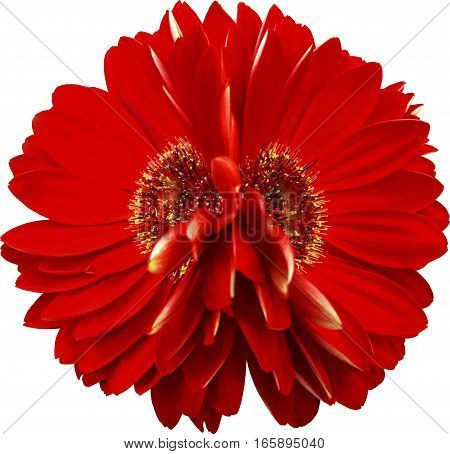 gerbera flowers red. Closeup. beautiful two flower.transparent background. Nature.