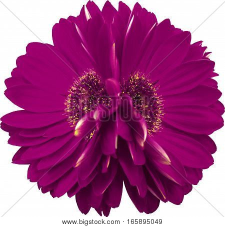 gerbera flowers violet. Closeup. beautiful two flower. white background. Nature.