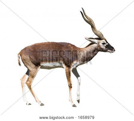 Indian Black Buck Antelope Standing Isolated Over White Background