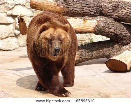 Furry brown bear.  Furry brown bear, mammal