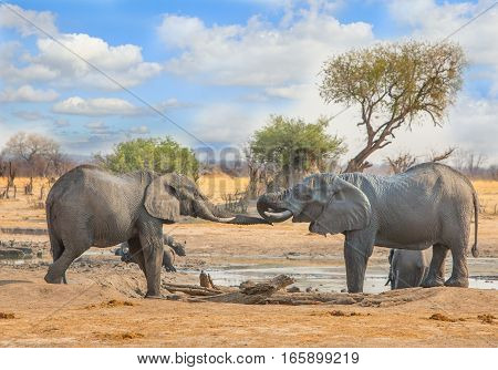 Elephants with trunks entwined while standing at a waterhole in Hwange National Park, Zimbabwe, Southern Africa