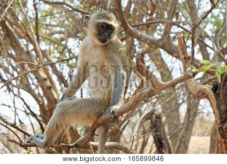 Cheeky Vervet monkey sitting on a dry bush with the thunderous victoria falls in the background, Zimbabwe, Southern Africa