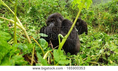 Front view of mountain gorilla feeding in the forest