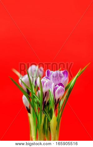 Beautiful Bouquet Of Spring Fresh Crocuses, On The Red Background.
