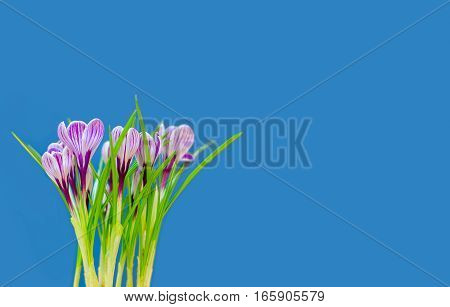 Beautiful Bouquet Of Spring Fresh Crocuses, On The Blue Background.