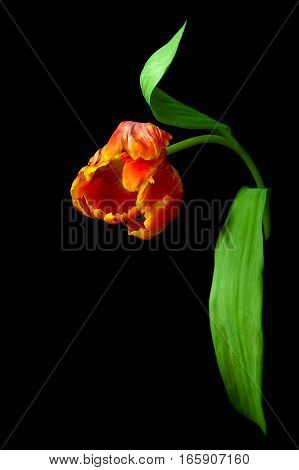 red tulip isolated on a black background. vertical photo.