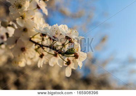 Spring blossoms tree with blue sky, close-up
