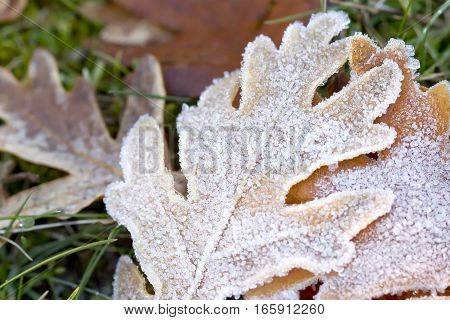 Closeup image of a dry frozen leaf from an oak tree on the ground.