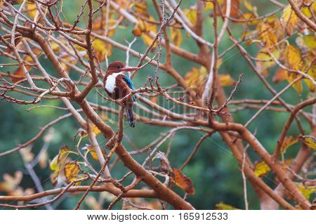 White-throated Kingfisher (halcyon Smyrnensis) Bird