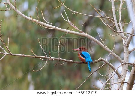 White-throated Kingfisher ( Halcyon smyrnensis ) bird