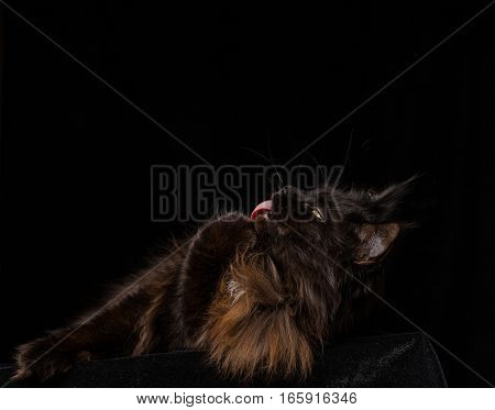 Studio Portrait of a beautiful Maine Coon Cat against Black Background. Can be used for Halloween.