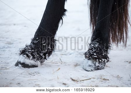 Farm animal - Friesian horses hooves in winter