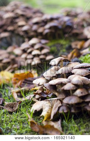 An autumnal rural detail of wild mushrooms growing amongst the decaying leaves of the season.