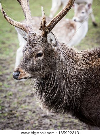 Head shot of a male european red deer with his doe in the background blur.