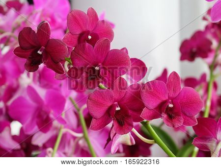 Flower and Plant Fresh Pink Phalaenopsis or Pink Orchid Blossoms Streak.