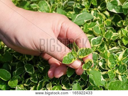 Ecology and Environment Concept Closeup of Hand Holding Carefully Evergreen Plant. Taking Care of The Garden.