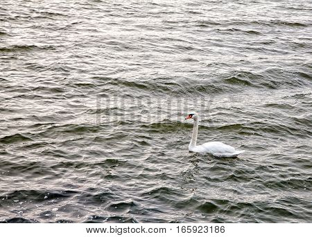 white swan floating on the lake on cold gloomy lat autumn day