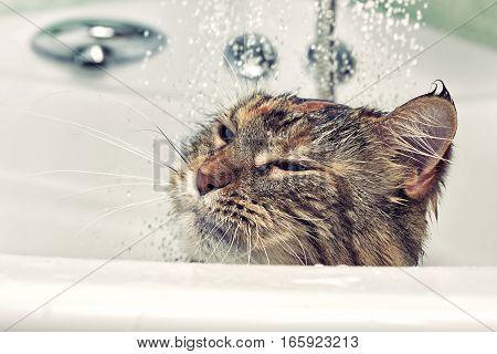 Wet cat in the bath. Funny cat