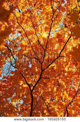 Autumn maple tree, golden leaves, bright autumnal leaf