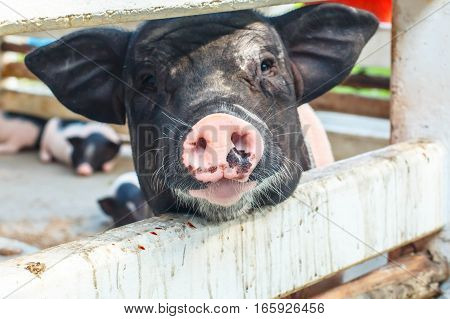 Small black piglet rearing in rural areas.