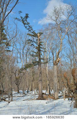 A broken trees in winter forest. Russian Far-East.