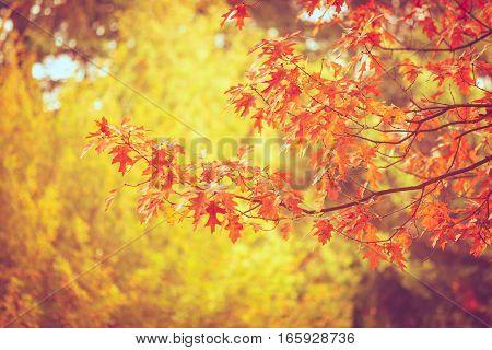 Autumnal leaves on oaken branch. Forest in fall landscape. Nature outdoor vegetation concept.
