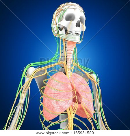 The lungs are the essential respiration organ and are located near the backbone on either side of the heart.