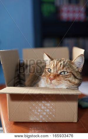 beautiful European cat in a delivery box