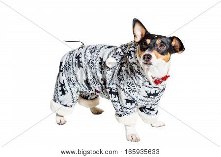 Jack Russell Terrier, isolated on white. Dog clothes. Dog stands on feet