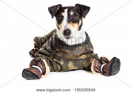 Portrait of a purebred smooth fox terrier of white background. Dog clothes. Close-up. Dog lies