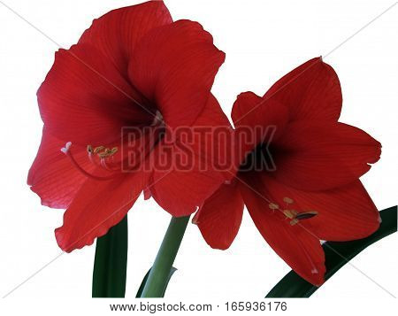 clipping path isolated of two amaryllis flowers white background