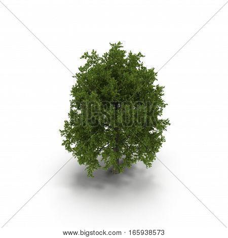 Red Oak Tree Summer on white background. 3D illustration