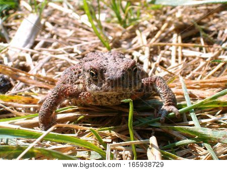 Picture of a brown toad sitting in the grass