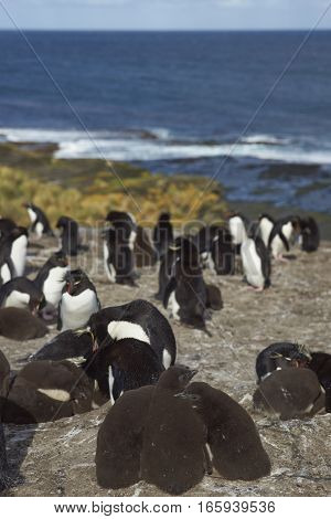 Rockhopper Penguins (Eudyptes chrysocome) with chicks at their nesting site on the cliffs of Bleaker Island in the Falkland Islands