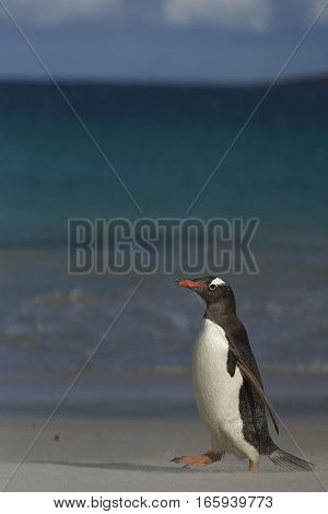 Gentoo Penguin (Pygoscelis papua) on a sandy beach on Bleaker Island in the Falkland Islands.