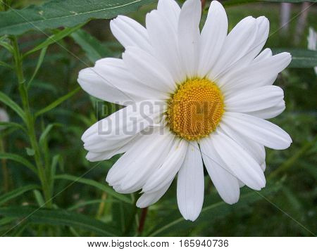 up close shot of bright white daisy in the grass. Wild flower with yellow center.