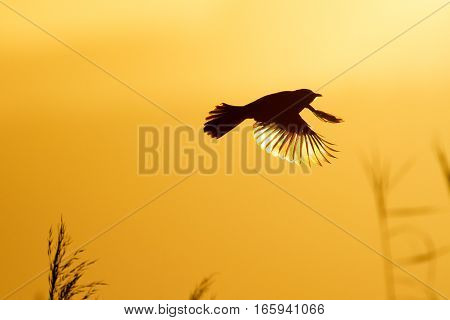 Cape bulbul flying over reeds at sunset with glowing wings