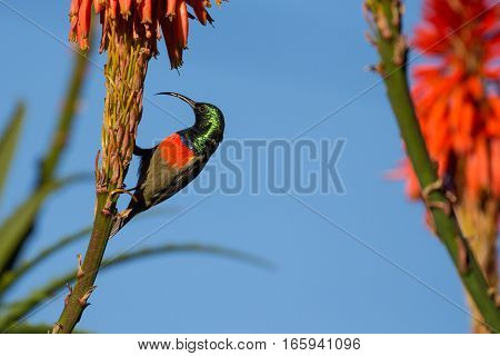 Male greater double collared sunbird perched at a flower in Garden Route National Park, South Africa