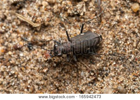 Cicindela germanica (tiger beetle) on a ground