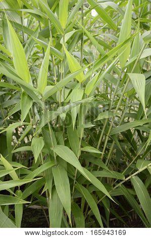 fresh green bamboo grass in nature garden