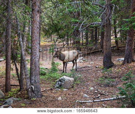 Bull elk in Rocky Mountain National Park, near Estes Park, Colorado.