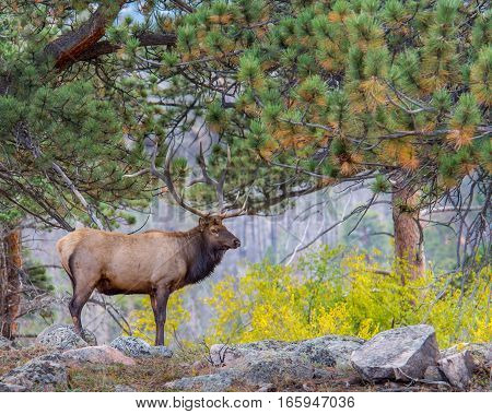 Bull elk amidst autumn colors in Rocky Mountain National Park, near Estes Park, Colorado.