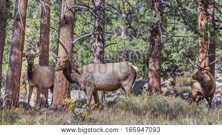 Bull and two cow elks in Rocky Mountain National Park, near Estes Park, Colorado.