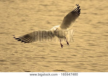 black headed gull in flight over the river winter plumage ( Chroicocephalus ridibundus )