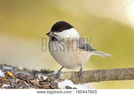 coal tit perched of twig eating seed at garden bird feeder ( Periparus ater )