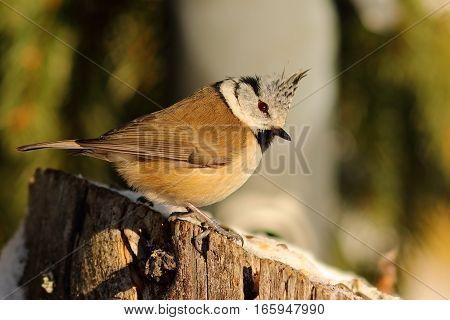 crested european tit standing on wooden stump ( Lophophanes cristatus )
