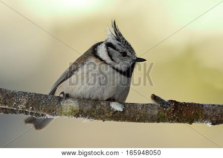 cute european crested tit perched on twig in the garden ( Lophophanes cristatus )