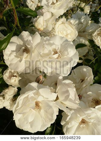 A rose bush with white roses is seen up close in the early morning