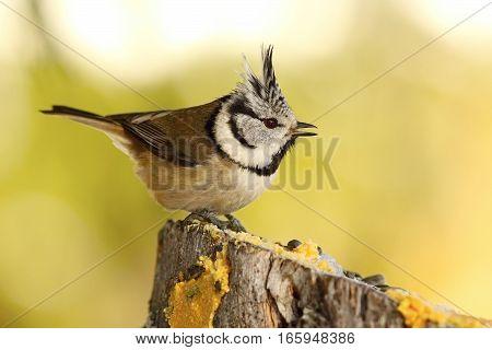 funny crested tit at garden bird feeder came for lard and seeds ( Lophophanes cristatus )