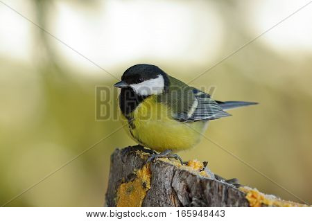 great tit perched on a stump in the garden ( Parus major )
